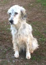 DIANA, Hund, English Setter in Granzin - Bild 5