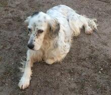 DIANA, Hund, English Setter in Granzin - Bild 6