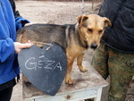 GEZA, Hund, Dackel-Mix in Mommenheim - Bild 1