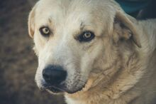 SANSIBAR, Hund, Golden Retriever-Mix in Spanien - Bild 1