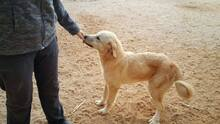 SANSIBAR, Hund, Golden Retriever-Mix in Spanien - Bild 11