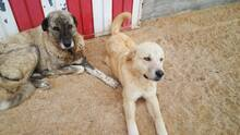 SANSIBAR, Hund, Golden Retriever-Mix in Spanien - Bild 14