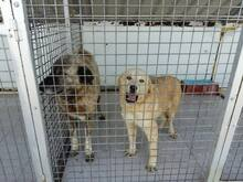 SANSIBAR, Hund, Golden Retriever-Mix in Spanien - Bild 15