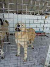 SANSIBAR, Hund, Golden Retriever-Mix in Spanien - Bild 16