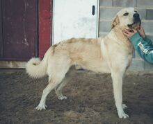 SANSIBAR, Hund, Golden Retriever-Mix in Spanien - Bild 2