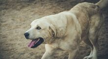 SANSIBAR, Hund, Golden Retriever-Mix in Spanien - Bild 4
