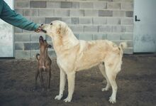SANSIBAR, Hund, Golden Retriever-Mix in Spanien - Bild 5