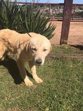 SANSIBAR, Hund, Golden Retriever-Mix in Spanien - Bild 6