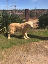 SANSIBAR, Hund, Golden Retriever-Mix in Spanien - Bild 7