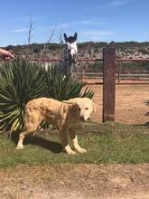 SANSIBAR, Hund, Golden Retriever-Mix in Spanien - Bild 8