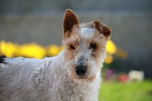 OLE, Hund, Foxterrier in Offenburg - Bild 1