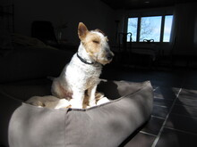 OLE, Hund, Foxterrier in Offenburg - Bild 10