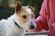 OLE, Hund, Foxterrier in Offenburg - Bild 12