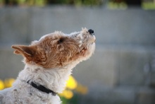 OLE, Hund, Foxterrier in Offenburg - Bild 14