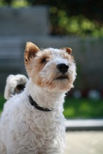 OLE, Hund, Foxterrier in Offenburg - Bild 2