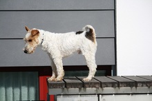 OLE, Hund, Foxterrier in Offenburg - Bild 3