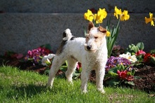 OLE, Hund, Foxterrier in Offenburg - Bild 4