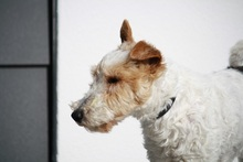 OLE, Hund, Foxterrier in Offenburg - Bild 5