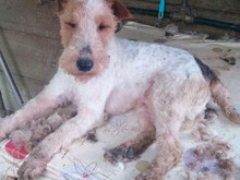 OLE, Hund, Foxterrier in Offenburg - Bild 7