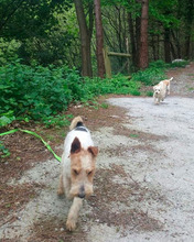 OLE, Hund, Foxterrier in Offenburg - Bild 8