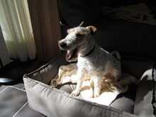 OLE, Hund, Foxterrier in Offenburg - Bild 9