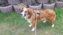 GOLDEN-BOY, Hund, Mischlingshund in Offenburg - Bild 7