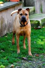 BUDDY, Hund, Shar Pei-Mix in Rodgau - Bild 3