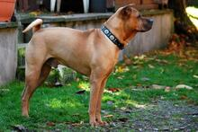 BUDDY, Hund, Shar Pei-Mix in Rodgau - Bild 4