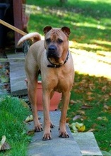 BUDDY, Hund, Shar Pei-Mix in Rodgau - Bild 5