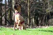 BUDDY, Hund, Shar Pei-Mix in Rodgau - Bild 7