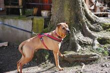 BUDDY, Hund, Shar Pei-Mix in Rodgau - Bild 8