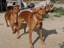 EMIR, Hund, Podenco-Mix in Spanien - Bild 2