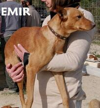 EMIR, Hund, Podenco-Mix in Spanien - Bild 4