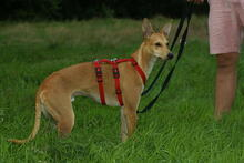 BAMBI, Hund, Podenco-Mix in Preetz - Bild 2