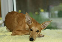 BAMBI, Hund, Podenco-Mix in Preetz - Bild 3
