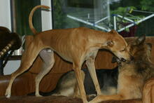 BAMBI, Hund, Podenco-Mix in Preetz - Bild 4