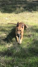 BAMBI, Hund, Podenco-Mix in Preetz - Bild 7