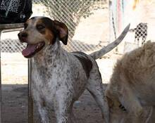 TOUS, Hund, Pointer-Sabueso Espanol-Mix in Spanien - Bild 3