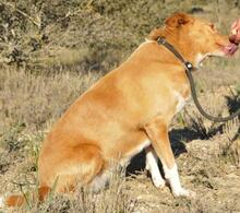 YUMA, Hund, Podenco-Mix in Spanien - Bild 10