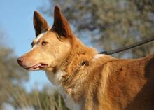 YUMA, Hund, Podenco-Mix in Spanien - Bild 3