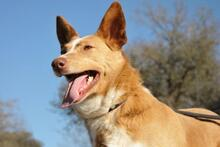YUMA, Hund, Podenco-Mix in Spanien - Bild 5