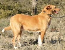 YUMA, Hund, Podenco-Mix in Spanien - Bild 6
