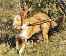 YUMA, Hund, Podenco-Mix in Spanien - Bild 7