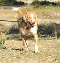 YUMA, Hund, Podenco-Mix in Spanien - Bild 9