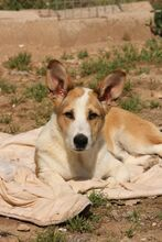 DONETTE, Hund, Podenco-Mix in Spanien - Bild 1