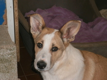 DONETTE, Hund, Podenco-Mix in Spanien - Bild 2