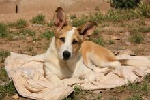 DONETTE, Hund, Podenco-Mix in Spanien - Bild 3