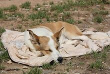 DONETTE, Hund, Podenco-Mix in Spanien - Bild 4