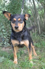 SCOBY, Hund, Pinscher-Mix in Chemnitz - Bild 1