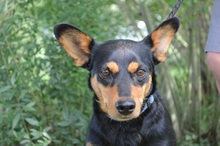 SCOBY, Hund, Pinscher-Mix in Chemnitz - Bild 2